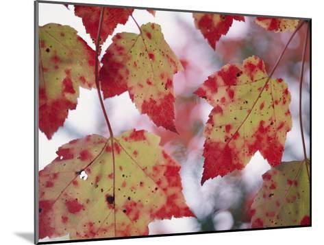 Red Maple Leaves-George F^ Mobley-Mounted Photographic Print