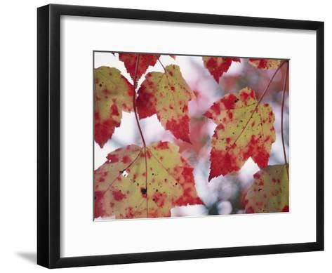 Red Maple Leaves-George F^ Mobley-Framed Art Print