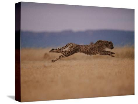 A Cheetah with Limbs Parallel to the Ground While in Full Sprint-Chris Johns-Stretched Canvas Print