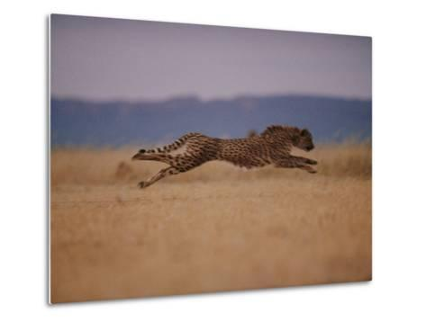 A Cheetah with Limbs Parallel to the Ground While in Full Sprint-Chris Johns-Metal Print