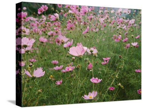 Wildflowers Above the Village of Namche-Michael Klesius-Stretched Canvas Print