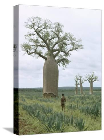 A Man Looks at a Baobab Tree-Luis Marden-Stretched Canvas Print