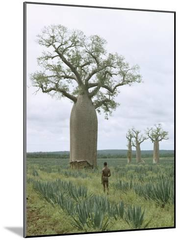 A Man Looks at a Baobab Tree-Luis Marden-Mounted Photographic Print