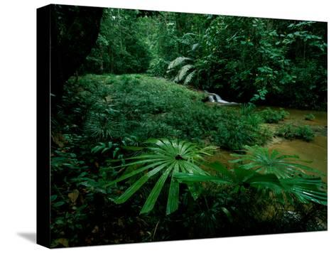 Licuala Palms Growing Wildly in a Rainforest-Tim Laman-Stretched Canvas Print