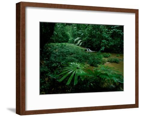 Licuala Palms Growing Wildly in a Rainforest-Tim Laman-Framed Art Print