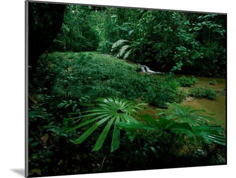 Licuala Palms Growing Wildly in a Rainforest-Tim Laman-Mounted Photographic Print