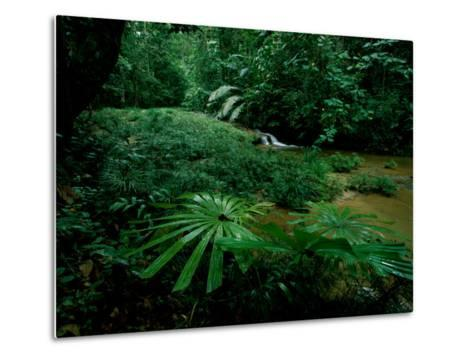 Licuala Palms Growing Wildly in a Rainforest-Tim Laman-Metal Print