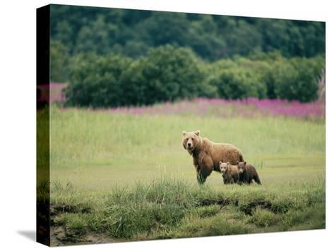 An Alaskan Brown Bear Keeps an Eye on Her Cubs-Roy Toft-Stretched Canvas Print