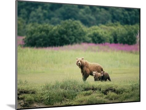 An Alaskan Brown Bear Keeps an Eye on Her Cubs-Roy Toft-Mounted Photographic Print