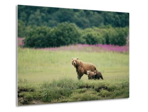 An Alaskan Brown Bear Keeps an Eye on Her Cubs-Roy Toft-Metal Print