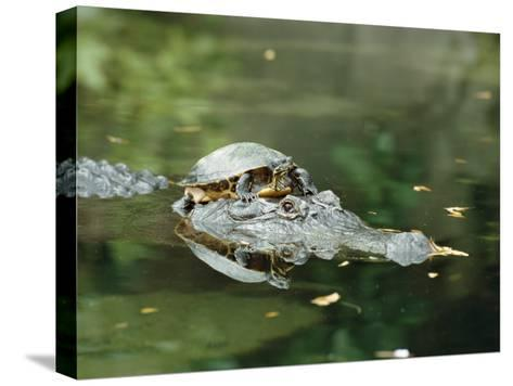 A Yellow-Bellied Turtle Hitches a Ride on the Head of an Alligator-Norbert Rosing-Stretched Canvas Print