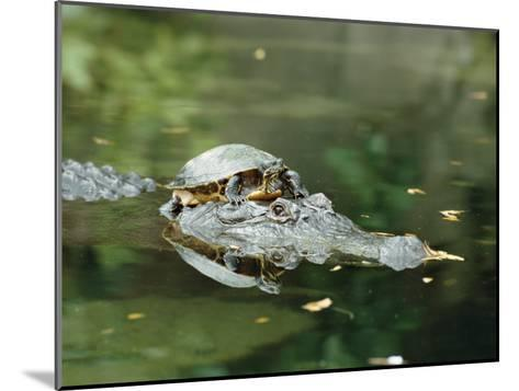 A Yellow-Bellied Turtle Hitches a Ride on the Head of an Alligator-Norbert Rosing-Mounted Photographic Print