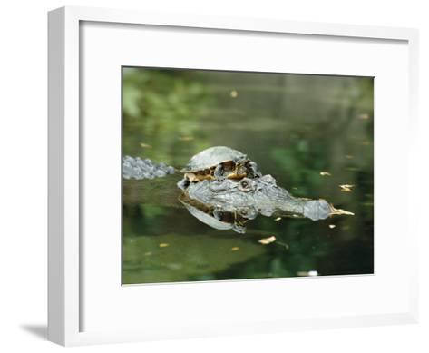 A Yellow-Bellied Turtle Hitches a Ride on the Head of an Alligator-Norbert Rosing-Framed Art Print
