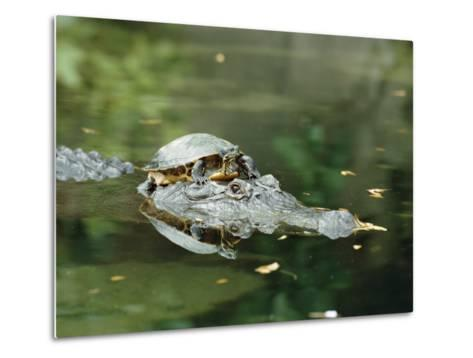 A Yellow-Bellied Turtle Hitches a Ride on the Head of an Alligator-Norbert Rosing-Metal Print