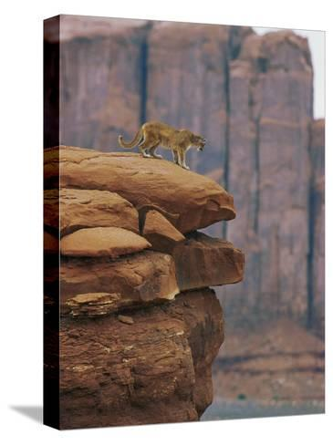 A Mountain Lion Pauses at the Edge of a Cliff-Norbert Rosing-Stretched Canvas Print