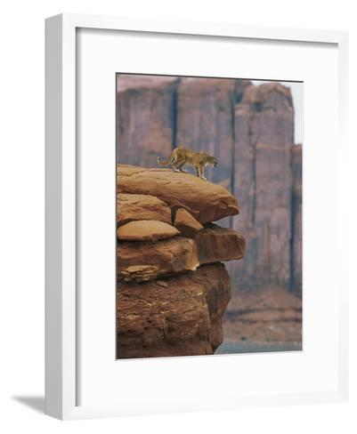 A Mountain Lion Pauses at the Edge of a Cliff-Norbert Rosing-Framed Art Print