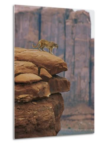 A Mountain Lion Pauses at the Edge of a Cliff-Norbert Rosing-Metal Print
