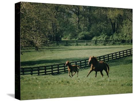 A Horse and its Colt Run Through a Field-Dick Durrance-Stretched Canvas Print