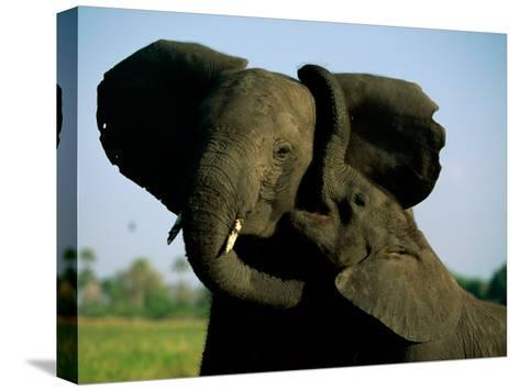 A Young Elephant Wraps its Trunk Around a Friend-Beverly Joubert-Stretched Canvas Print