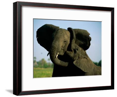 A Young Elephant Wraps its Trunk Around a Friend-Beverly Joubert-Framed Art Print