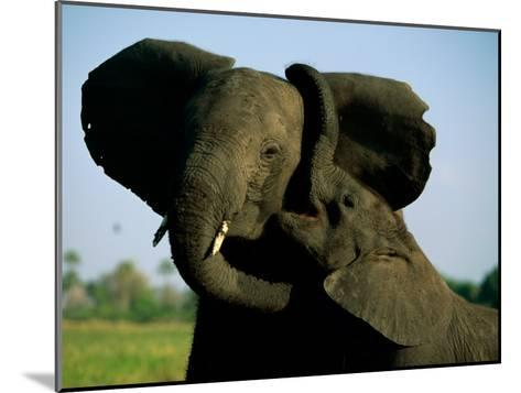 A Young Elephant Wraps its Trunk Around a Friend-Beverly Joubert-Mounted Photographic Print