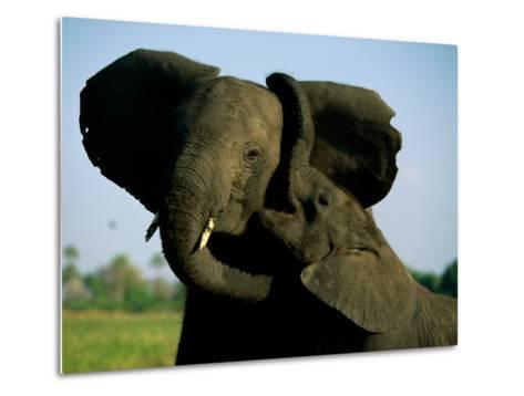 A Young Elephant Wraps its Trunk Around a Friend-Beverly Joubert-Metal Print