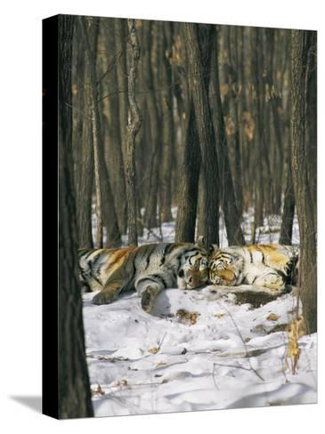 Two Tigers Take a Nap Together-Marc Moritsch-Stretched Canvas Print