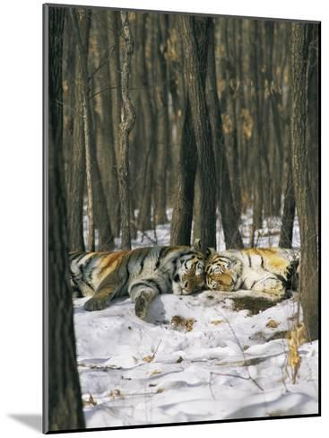 Two Tigers Take a Nap Together-Marc Moritsch-Mounted Photographic Print