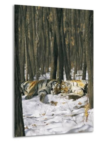 Two Tigers Take a Nap Together-Marc Moritsch-Metal Print