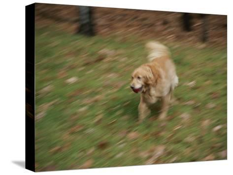 A Dog Plays Catch in the Backyard-Stacy Gold-Stretched Canvas Print