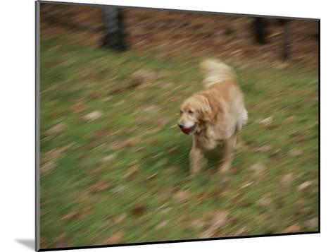 A Dog Plays Catch in the Backyard-Stacy Gold-Mounted Photographic Print