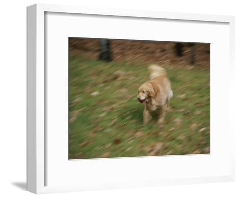 A Dog Plays Catch in the Backyard-Stacy Gold-Framed Art Print