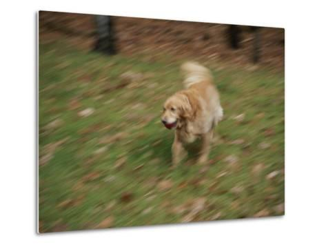 A Dog Plays Catch in the Backyard-Stacy Gold-Metal Print
