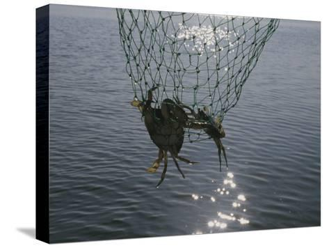 Two Blue Crabs Caught in a Net-Stacy Gold-Stretched Canvas Print