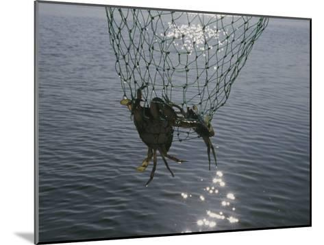 Two Blue Crabs Caught in a Net-Stacy Gold-Mounted Photographic Print