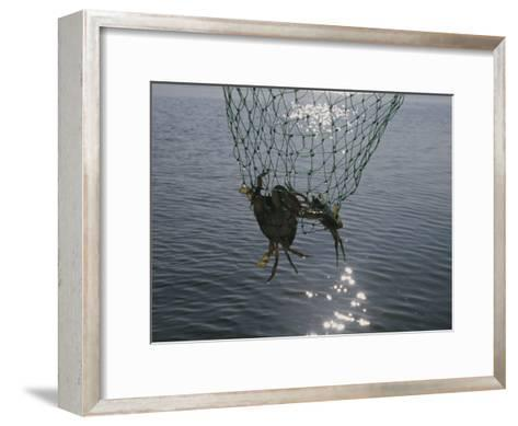 Two Blue Crabs Caught in a Net-Stacy Gold-Framed Art Print
