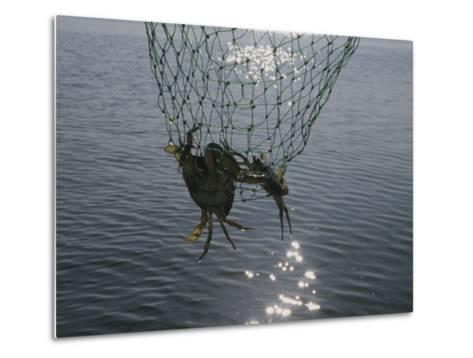 Two Blue Crabs Caught in a Net-Stacy Gold-Metal Print