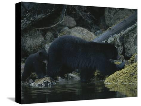 Close View of a Bear Standing in Shallow Waters by Moss-Covered Rocks-Joel Sartore-Stretched Canvas Print