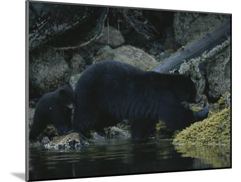 Close View of a Bear Standing in Shallow Waters by Moss-Covered Rocks-Joel Sartore-Mounted Photographic Print