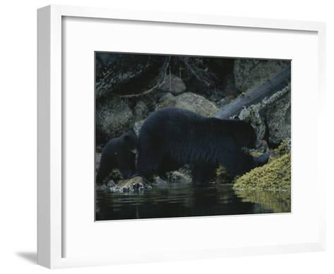 Close View of a Bear Standing in Shallow Waters by Moss-Covered Rocks-Joel Sartore-Framed Art Print