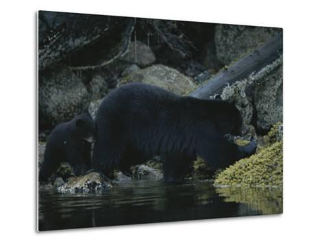 Close View of a Bear Standing in Shallow Waters by Moss-Covered Rocks-Joel Sartore-Metal Print