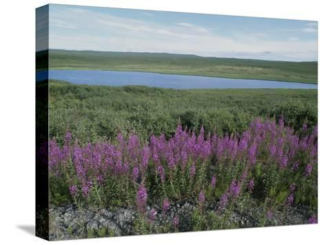 Fireweed Blooms on the Tundra Near a Lake-Rich Reid-Stretched Canvas Print
