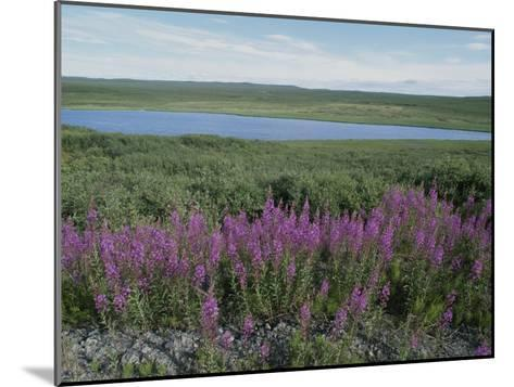Fireweed Blooms on the Tundra Near a Lake-Rich Reid-Mounted Photographic Print