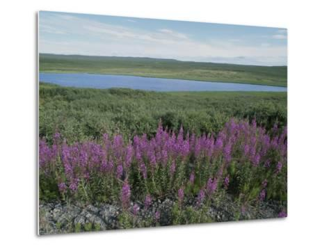 Fireweed Blooms on the Tundra Near a Lake-Rich Reid-Metal Print