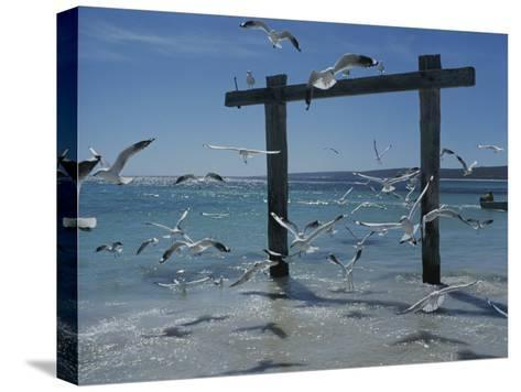 Sea Gulls Hover over Surf Around a Piling-Sam Abell-Stretched Canvas Print