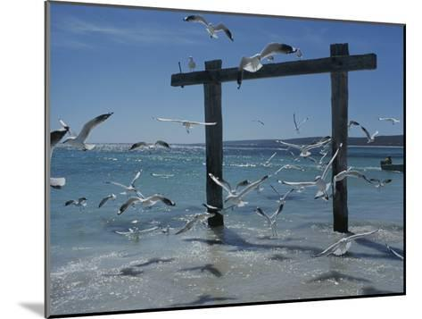 Sea Gulls Hover over Surf Around a Piling-Sam Abell-Mounted Photographic Print