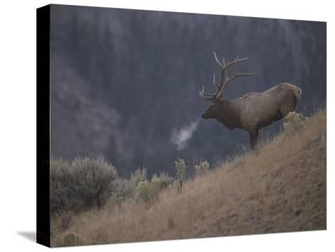Elk or Wapiti Bull on a Hillside in Yellowstone National Park-Raymond Gehman-Stretched Canvas Print