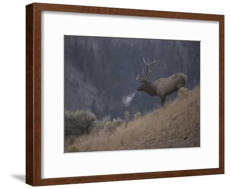 Elk or Wapiti Bull on a Hillside in Yellowstone National Park-Raymond Gehman-Framed Art Print