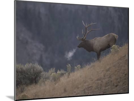 Elk or Wapiti Bull on a Hillside in Yellowstone National Park-Raymond Gehman-Mounted Photographic Print
