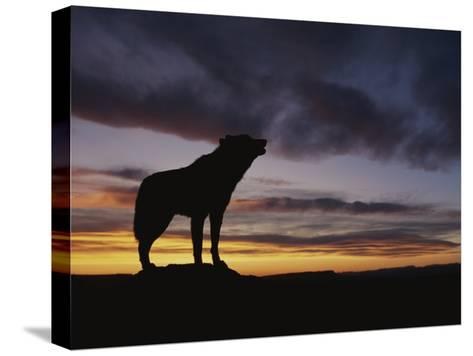 Howling Wolf Silhouetted against Sunset Sky-Norbert Rosing-Stretched Canvas Print